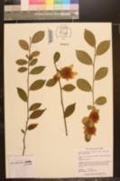 Camellia yunnanensis image
