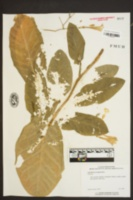Nicotiana tabacum image
