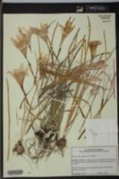 Zephyranthes atamasco image