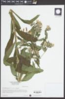 Onosmodium bejariense image