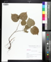 Image of Viburnum affine
