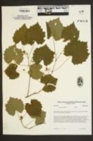 Vitis rotundifolia image