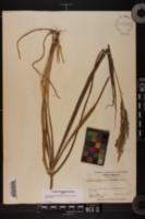 Coleataenia rigidula subsp. condensa image