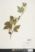 Ampelopsis brevipedunculata image