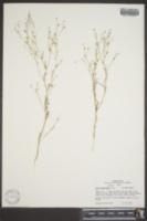 Image of Gilia capillaris