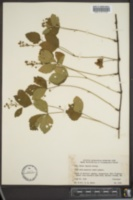 Image of Rubus vagulus