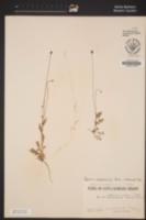 Papaver californicum image