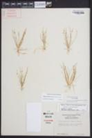 Isolepis carinata image