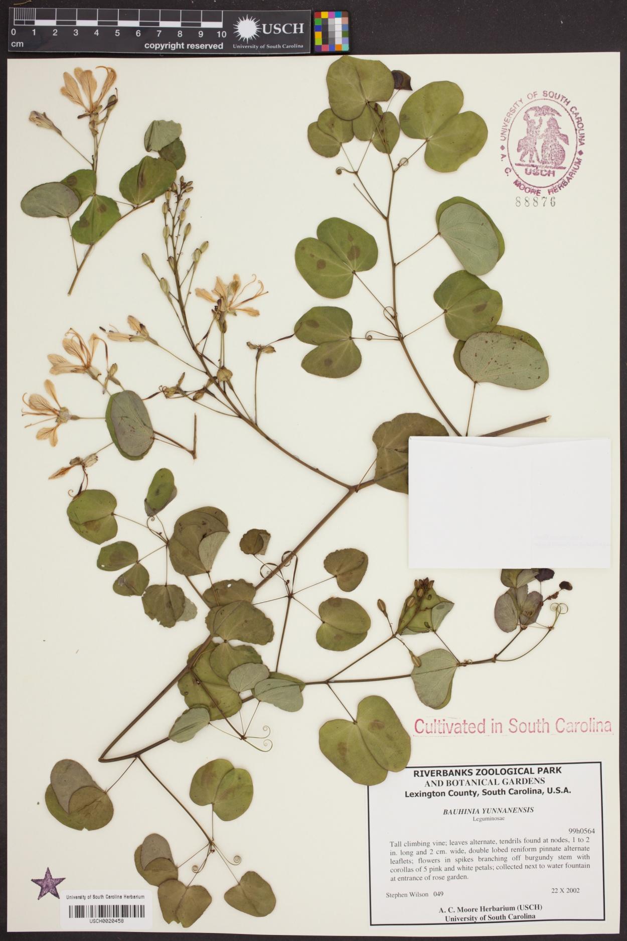 Bauhinia yunnanensis image
