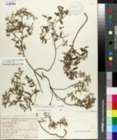 Image of Helianthemum georgianum
