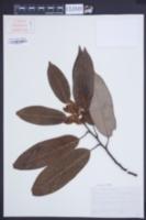 Image of Magnolia ernestii