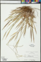 Sporobolus junceus image