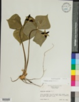 Trillium erectum image