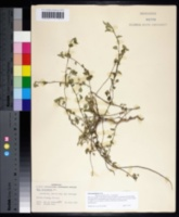 Image of Sida abutilifolia