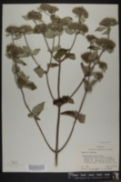 Image of Pycnanthemum viridifolium