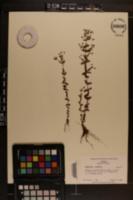 Hypericum mutilum image