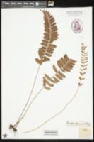 Image of Egenolfia appendiculata