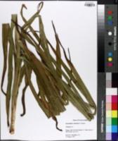 Image of Stenanthium robustum