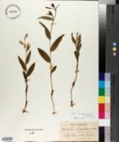 Image of Cephalanthera damasonium