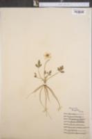 Image of Ranunculus laxicaulis