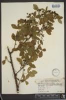 Image of Rubus densissimus