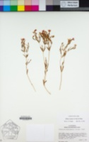 Zeltnera muehlenbergii image