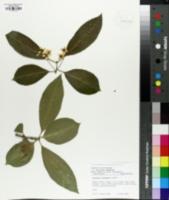 Image of Euonymus nitidus