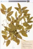 Smilax lanceolata image