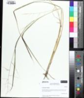 Image of Panicum agrostoides