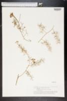 Image of Asparagus umbellatus