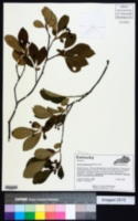Photinia melanocarpa image