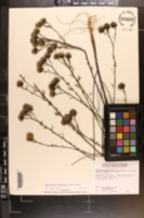 Dalea adenopoda image