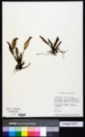 Image of Acianthera geminicaulina