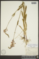 Physostegia pulchella image