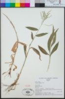 Image of Centosteca lappacea
