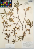 Salix lemmonii image