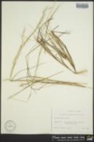 Aristida gyrans image