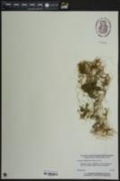 Cuscuta gronovii image