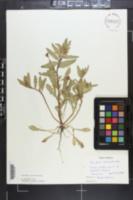 Oenothera laciniata image