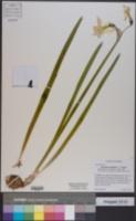 Image of Narcissus triandrus