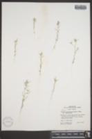Image of Gilia sparsiflora