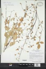 Lespedeza thunbergii image