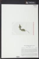 Asplenium bradleyi image