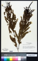 Amorpha floridana image