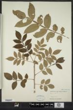 Rhus copallinum var. latifolia image