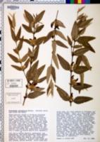 Image of Brachysema lanceolatum