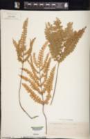 Image of Lindsaea prolongata