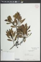 Morella cerifera image