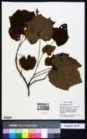 Image of Vitis amurensis