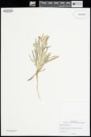 Image of Baileya pauciradiata
